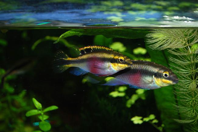 Pelvicachromis Pulcher.
