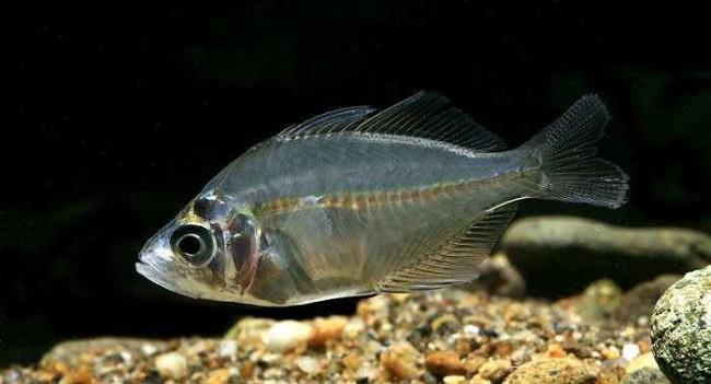 Внешне привлекательная аквариумная рыбка.