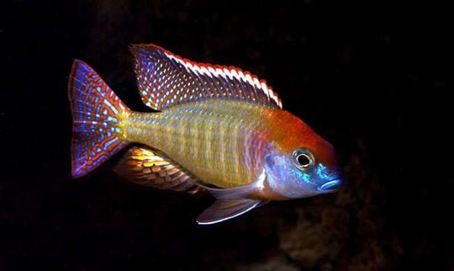 Одни из самых красочных пресноводных рыб.