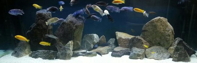 African cichlid aquarium.