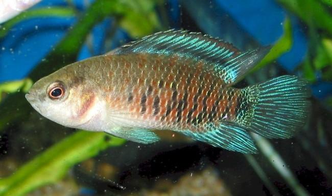 Рыбка бадис.