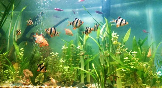 Общий аквариум с тигровыми барбусами.