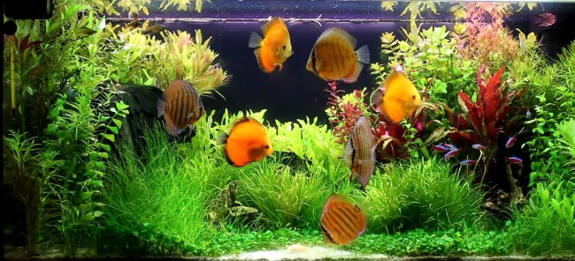 Большой аквариум с дискусами.