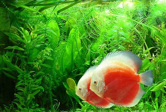 Тропические рыбки дискус.