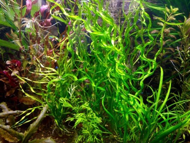 Echinodorus vesuvius in tropical nature aquarium.