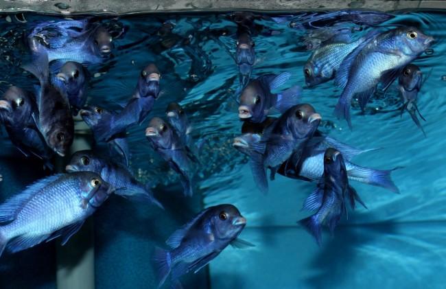 Стая голубых дельфинов.