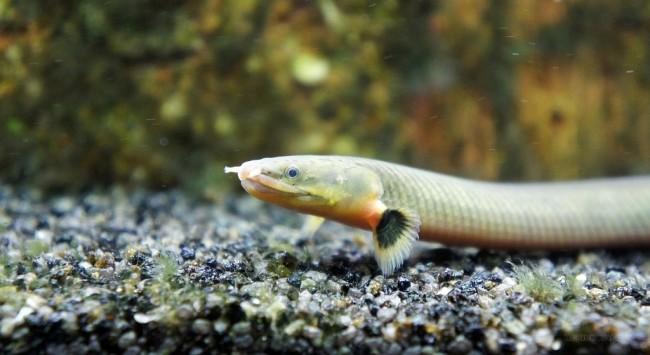 Erpetoichthys calabaricus.
