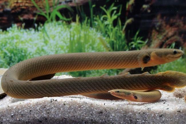 Рыба змея.