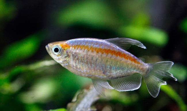 конго рыбка фото