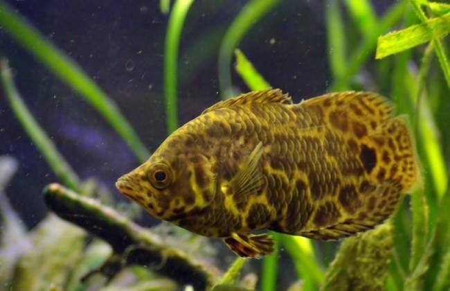 Der leopardbuschfisch.