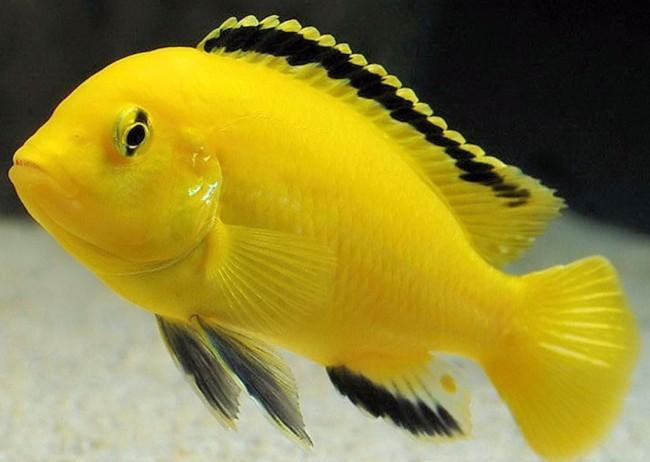 Желтый лабидохромис.