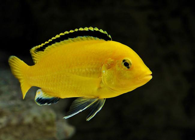 Labidochromis caeruleus.