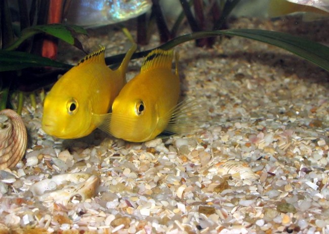 Рыбка танганьика.