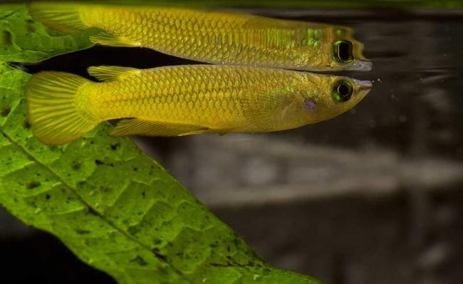 Aplocheilus lineatus.