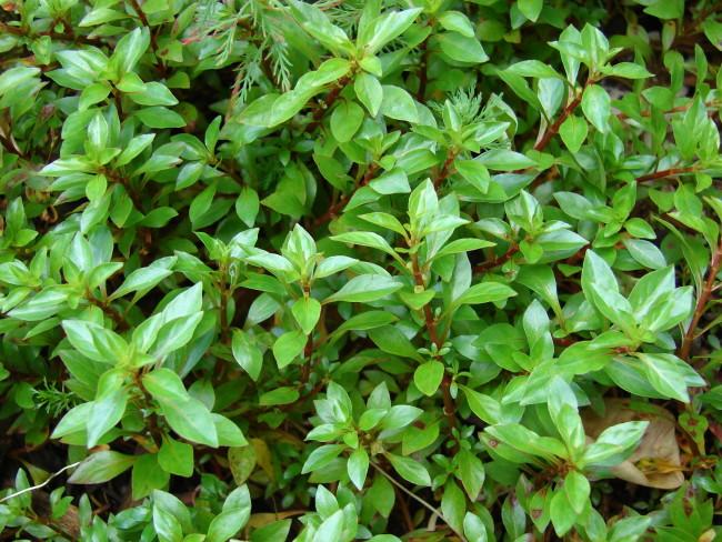 Ludwigia palustris green.