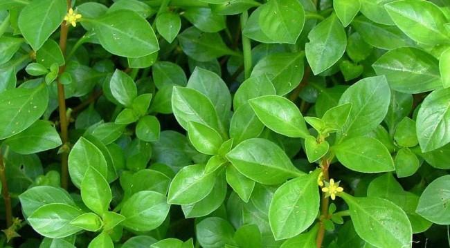 Цветущая людвигия болотная зеленая.