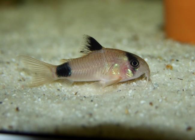 Небольшие рыбки семейства панцирные сомики.