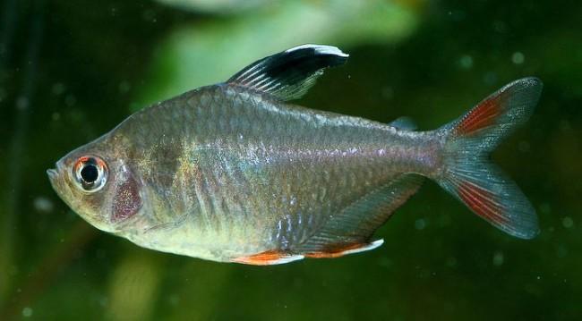 Рыбка орнатус обыкновенный.