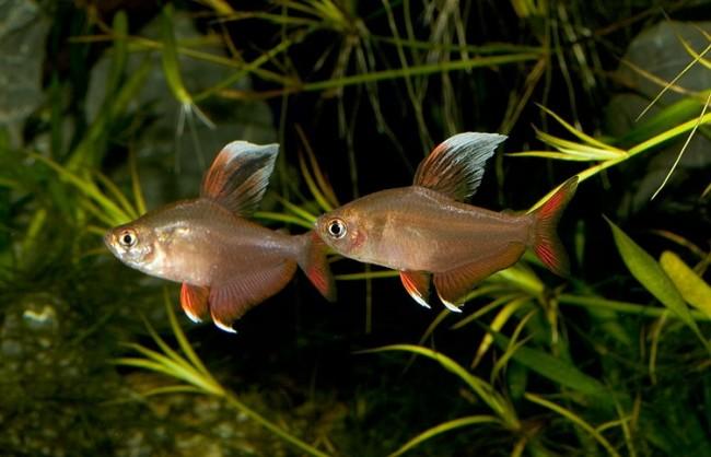 Hyphessobrycon sp white fin.