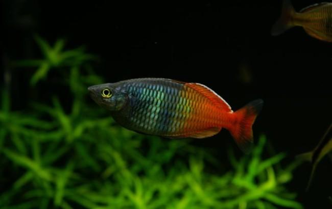 Boesemans regenbogenfisch.