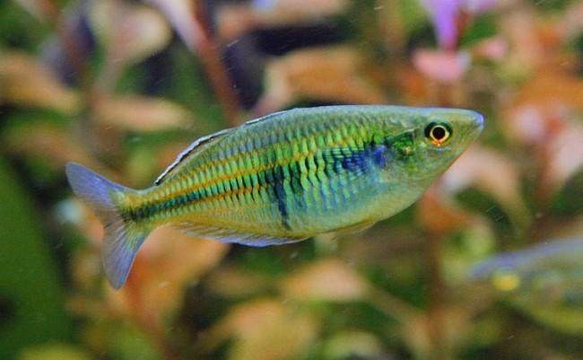 Rainbowfish мelanotaenia boesemani.
