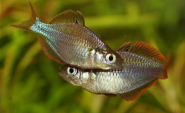 A pair of male dwarf neon rainbows.