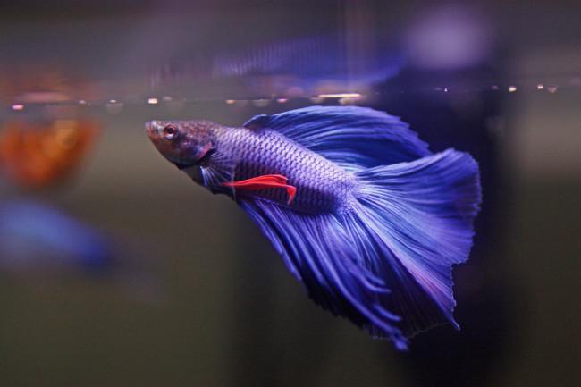 Синяя рыбка петушок кушает.