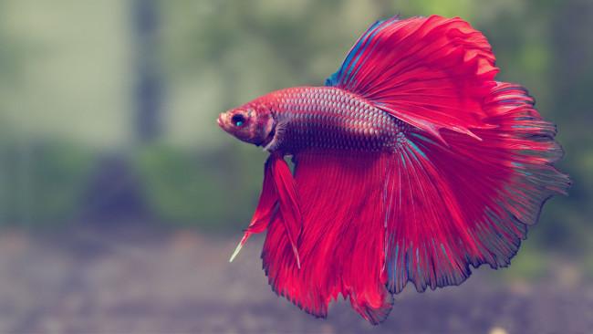 Красно-синяя рыбка петушок.