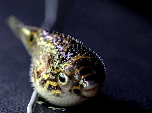 Рыба шар.