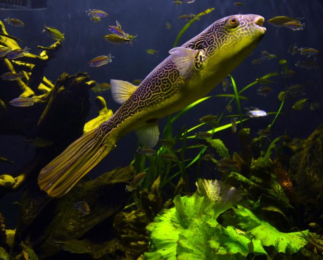 Tetraodon в аквариуме.