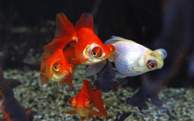 Разновидность золотой рыбки.