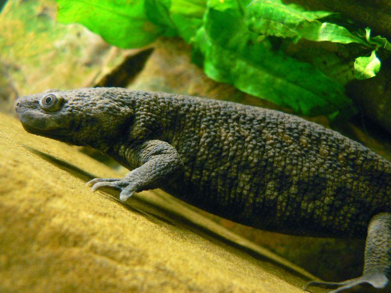 Саламандра в домашних условиях видео