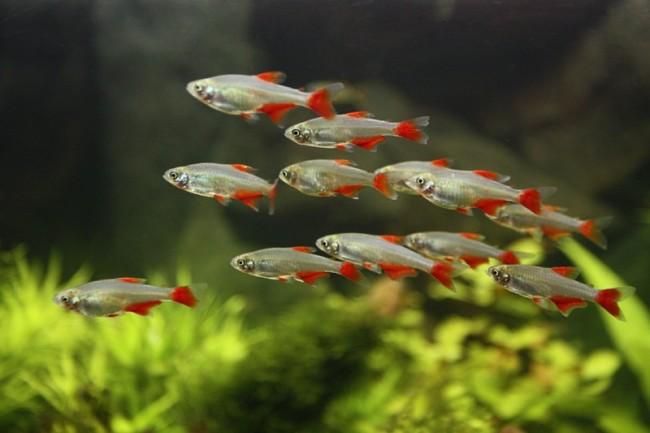 Bloodfin tetra familie characidae.