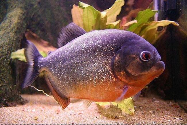 Red bellied piranha.
