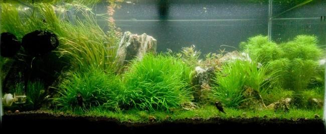 Японская бликса в аквариуме.