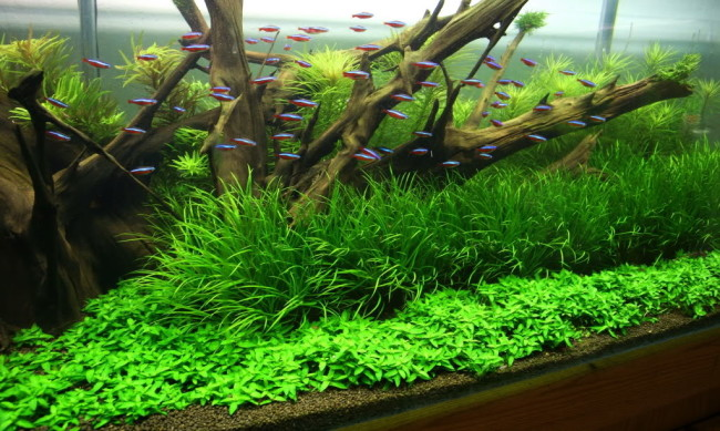 Японская бликса в аквариуме с неонами.