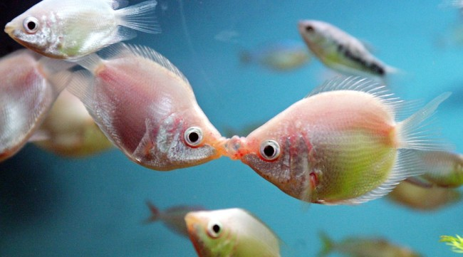 Поцелуй гурами.
