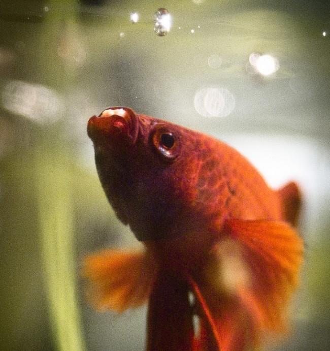 Рыбка петушок кормление.