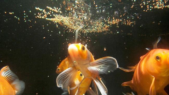 Кормление в аквариуме золотых рыбок.