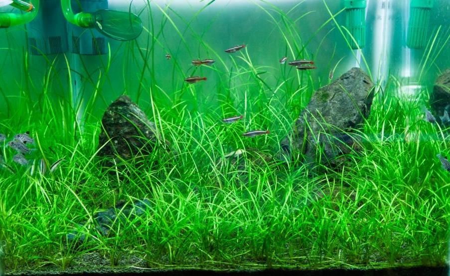 эхинодорусы в аквариуме