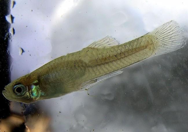 Гамбузия обыкновенная в аквариуме.