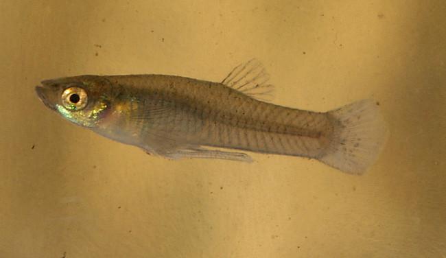 Рыбка гамбузия обыкновенная.