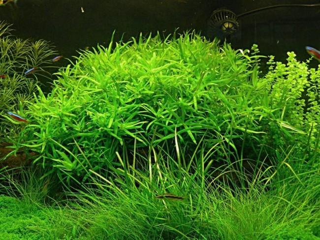 Аквариумное растение гетерантера остролистная.