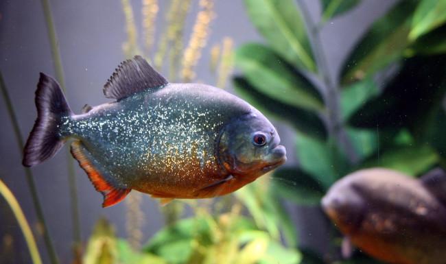 рыбки аквариумные хищные фото и название