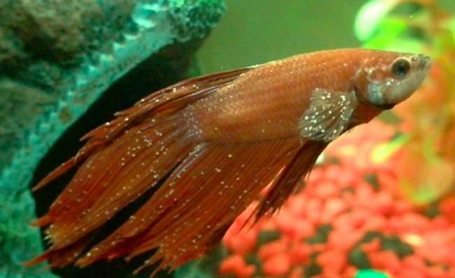 Ихтиофтириоз рыбок.