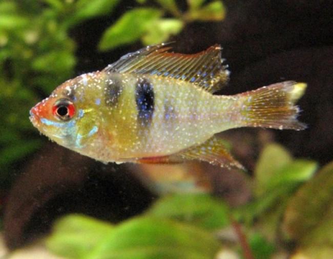 Заболевание ихтиофтириоз у рыбок.