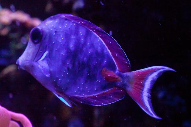 Наличие ихтиофтириоза у рыбок.