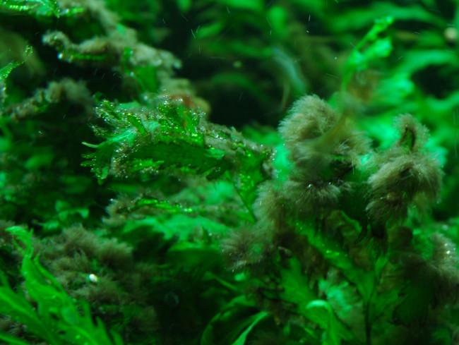 Вспышка черной бороды в аквариуме.