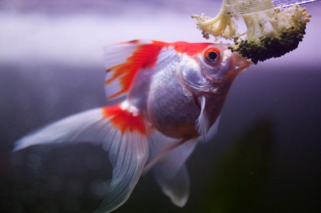 Кормление золотой рыбки брокколи.