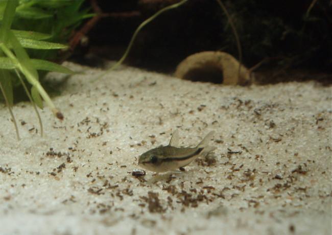 Коридорас пигмей на дне аквариума.